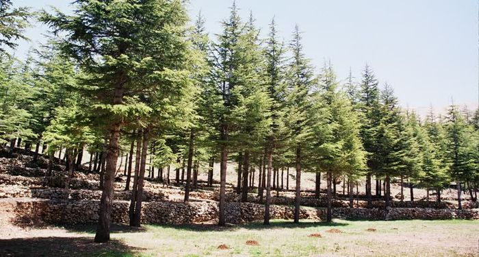 title: Array of Baby Cedar Trees Newly Planted in the Mountain