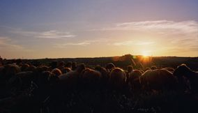 Brown Cute Sheep Flock Enjoying the Sunset on the Mountains