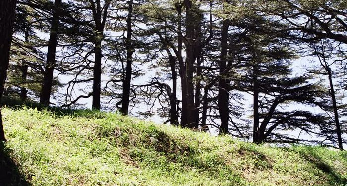 title: Cedar Trees Shade and Sun on the Grass in Bcharreh