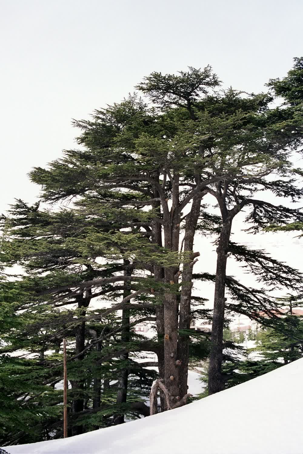title: Close Up of the Cedar Trees of the Lebanese Flag in Nature