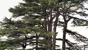 Close Up of the Cedar Trees of the Lebanese Flag in Nature