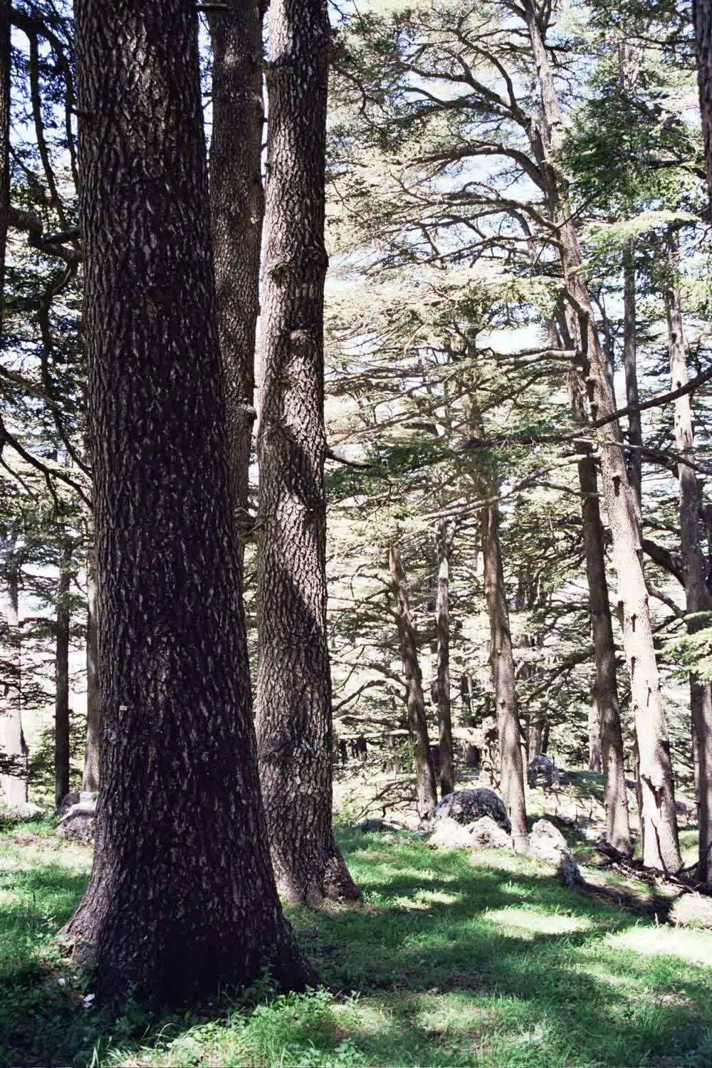 title: Close Up of the Newer Cedars in Lebanon