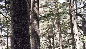 Close Up of the Newer Cedars in Lebanon