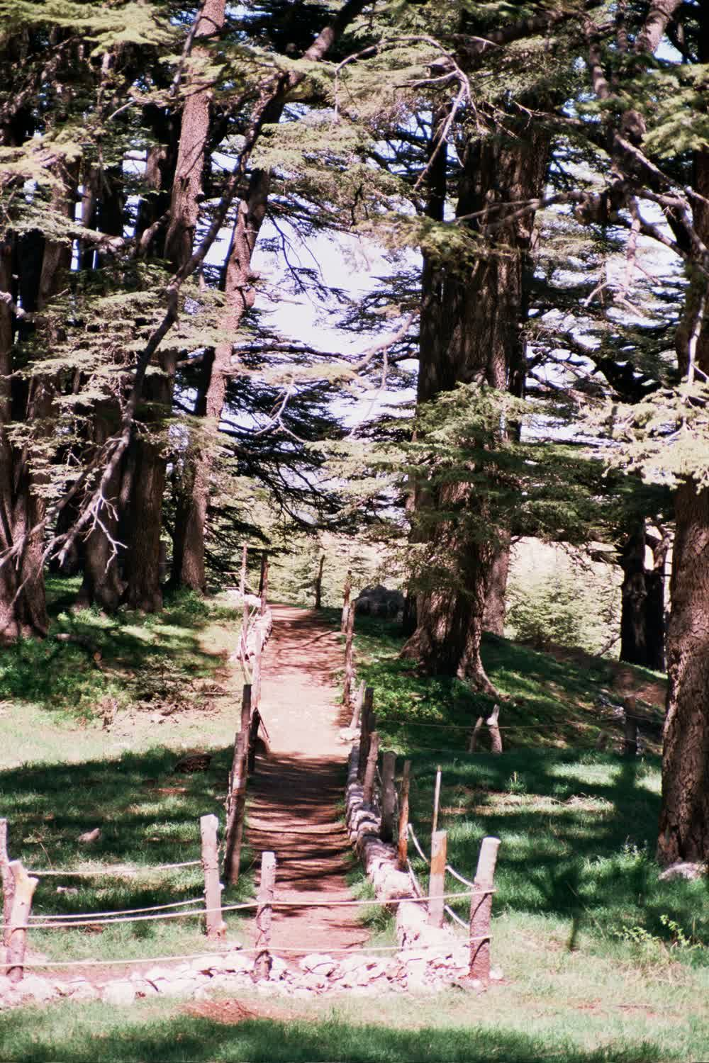 title: Cool Fun Walking Path in the Forest of the Cedars