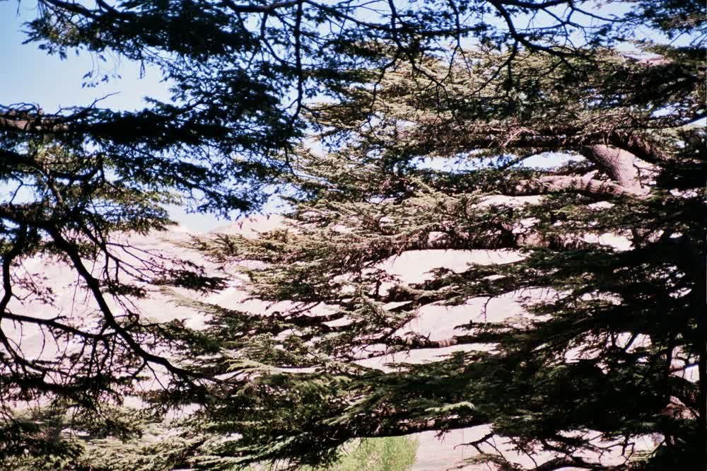 title: Cool Leaves of the Cone Trees in Lebanon s Mountain Forests