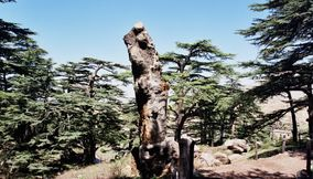 title: Cool Shapes Trunk Standing in Bcharreh Mountain