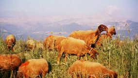 Cool Sheep in the Mizyarah Mountains Grazing off Nature