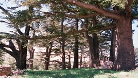 title: Cool Tree Trunks and Branches of the Renowned Cedars