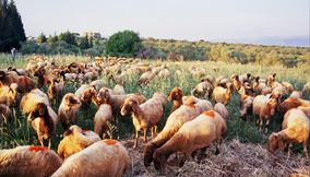 Crowded Flocks of Sheep on the Mizrayah Mountain Grazing