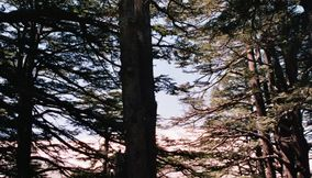 title: Extremely Tall Natural Trees in Mountain