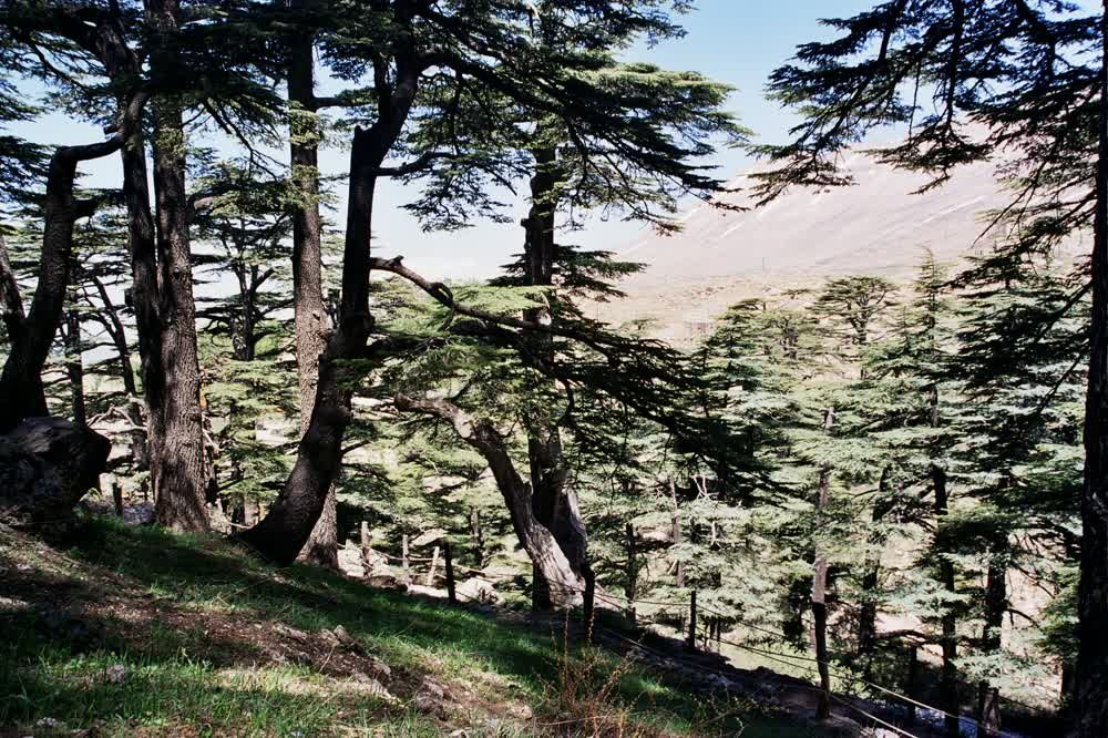title: Forest Cedars Hill in Bcharreh Mount Lebanon