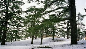 title: Green Cedar Trees in the Snow During Spring Season