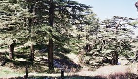 title: Huge Tall Cedar Trees in Mountains of Bcharreh