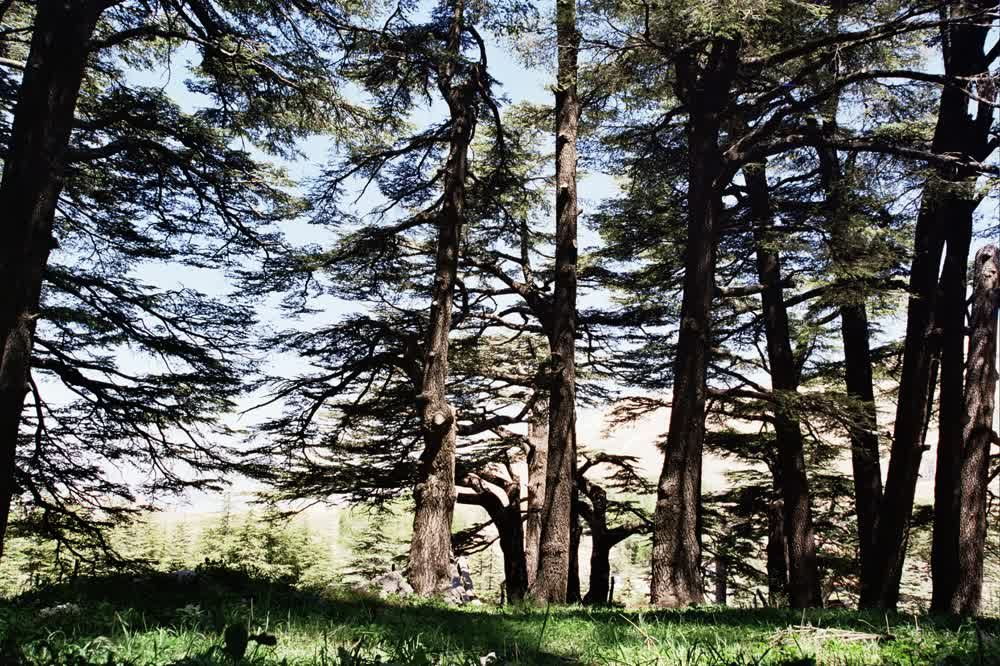 title: Lovely Cedar Trees of the Newer Generation Planted in Forest