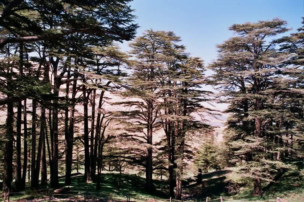 title: Lovely Cedars of Lebanon in the Forest