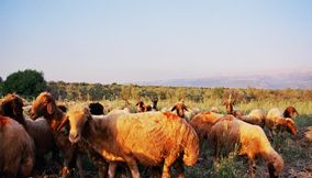 Many Brown Sheep Traveling in Flocks on the Mizyarah Mountains of Lebanon