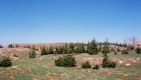 Many Trees Surrounding the Famous Large Cedars