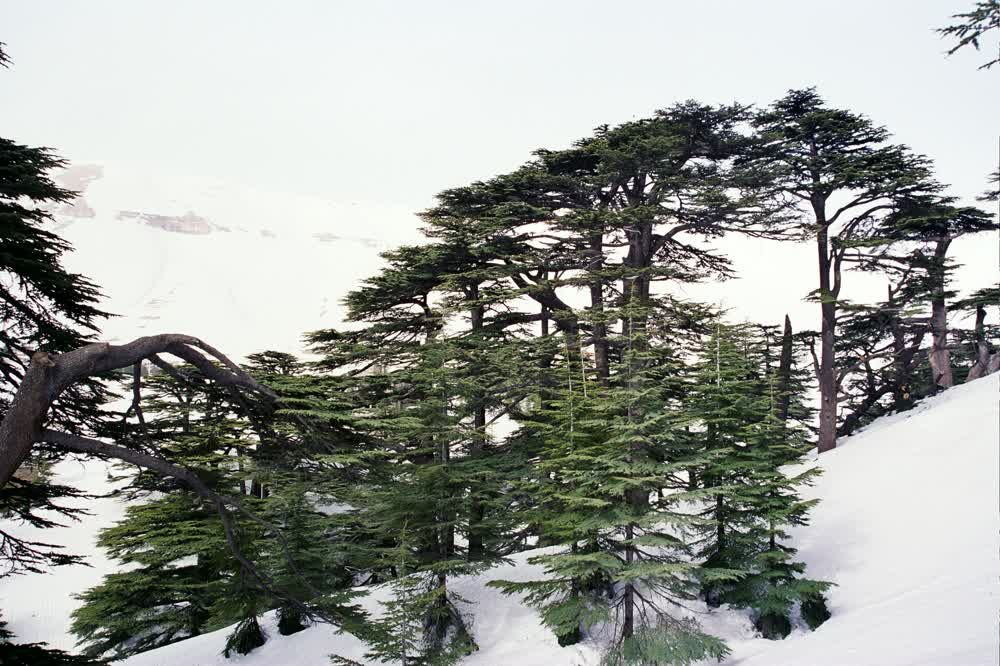 title: Natural Forests of Al Arz of Lebanon