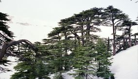 Natural Forests of Al Arz of Lebanon