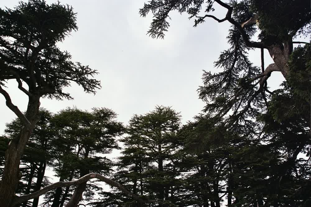 title: Sky in the Middle of the Tops of Cedar Trees