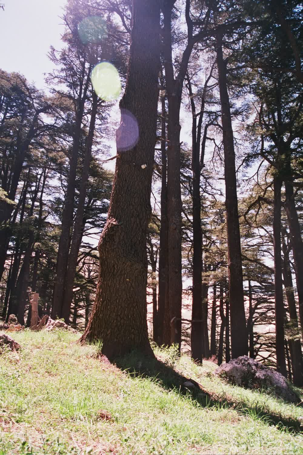 title: So Many Tall Trees in Forest Nature