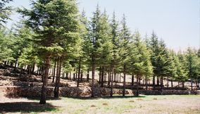 Tall Newly Planted Cedar Trees in the Garden in Bcharreh Mountains