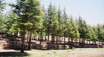 title: Tall Newly Planted Cedar Trees in the Garden in Bcharreh Mountains