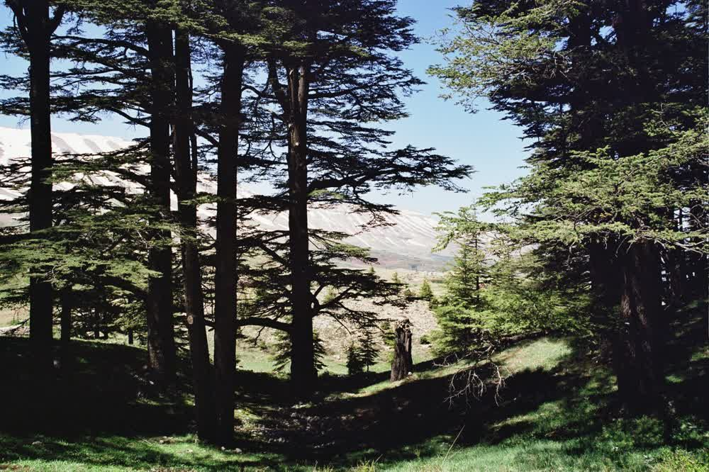 title: Tall Trees of the Cedar Forest in Bcharreh Mountain
