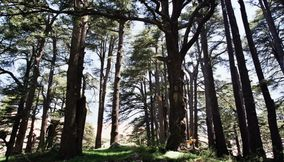 title: Tall Trees of the NATURAL forest of Bcharreh
