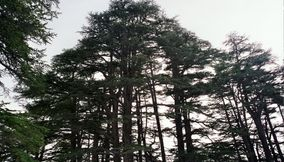 title: The Beautiful Cedars of the Lebanese Flag in the Forest Scenery