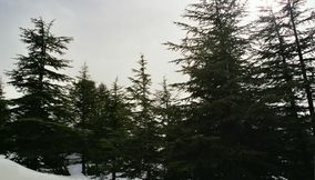 The Cedars of Lebanon Les Cedres du Liban