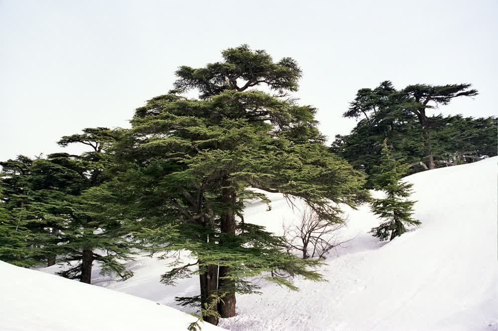 title: The Cedars of Mount Lebanon in Bcharreh s Picturesque Snowy Forest