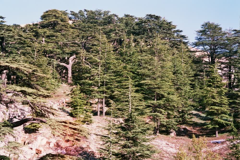 title: The Ceder Forest Of Lebanon on the Mountain