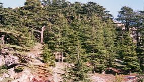 The Ceder Forest Of Lebanon on the Mountain