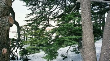 title: The Charming Cedar Trees of the Lebanese Flag