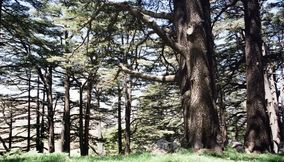 The Lebanon Cedars on the Mountain Slopes