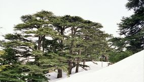 title: The Lebanon Cedars on the Snowy Mountain Slopes