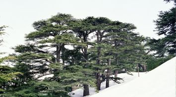 title: The Lovely North Lebanon s Cedars in the Forest