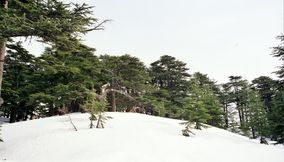 title: The Lovely White Snow in the Spring Time in Bcharreh Forest of Al Arz