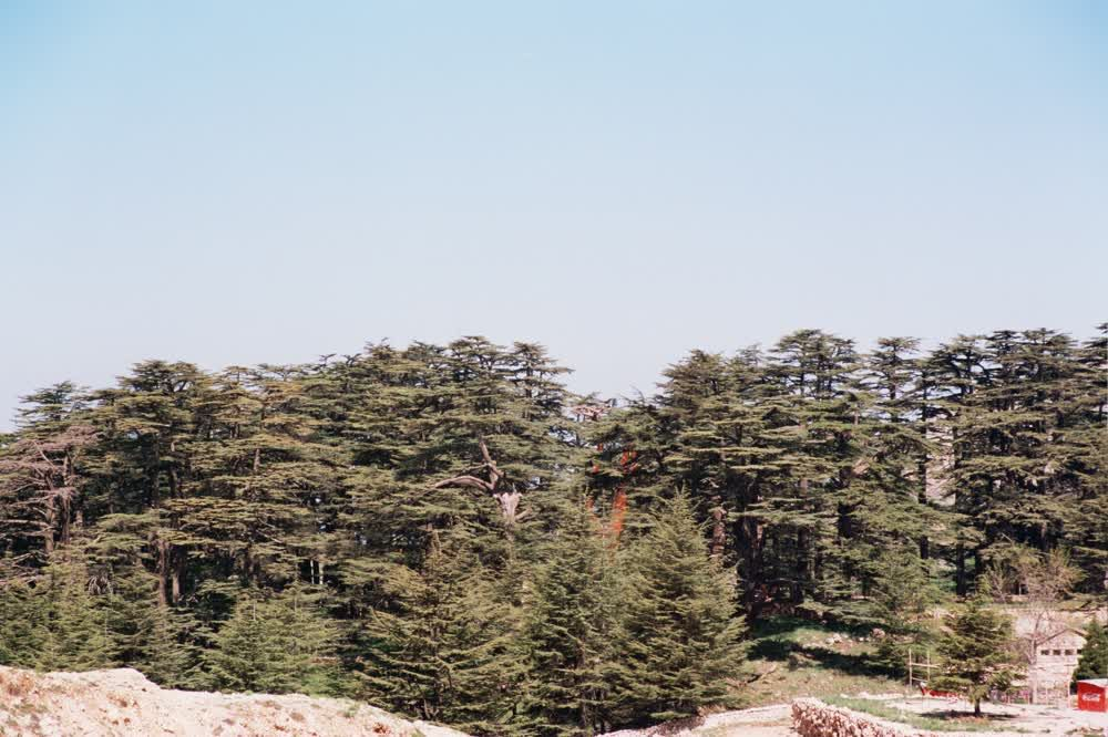title: The Many Cedar Trees of Lebanon in the Distance