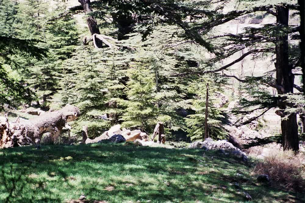 title: The Natural Beauty of the Lebanese Cedars