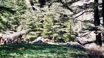 The Natural Beauty of the Lebanese Cedars