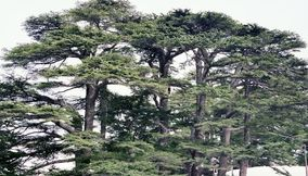 The Pretty Tops of the Cedar Trees in Bcharreh Forest