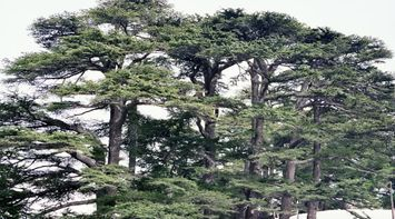 title: The Pretty Tops of the Cedar Trees in Bcharreh Forest