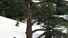 The Traditional Ancient Cedars of Lebanon in Bcharreh