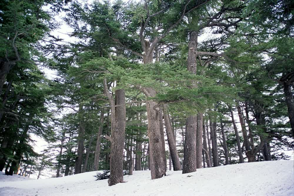 title: The Traditional Cedars of the Lebanese Flag in the Forest of Bcharreh