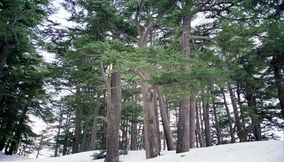 The Traditional Cedars of the Lebanese Flag in the Forest of Bcharreh