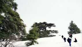 title: The Traditional Lebanon Cedars on the Mountain Slopes of Snow