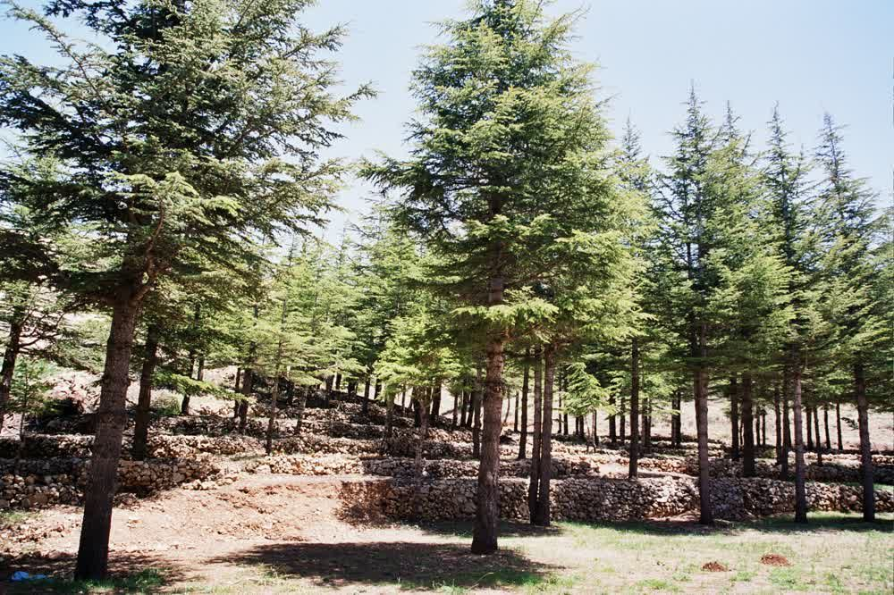 title: The Wonderful Scenic Forest of the Cedars