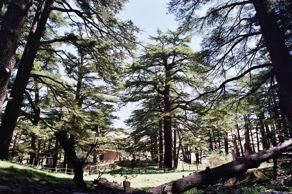 title: Thriving Cedar Trees Planted in the Lovely Natural Forest in Bcharreh